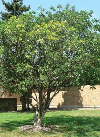 Рtelea trifoliata