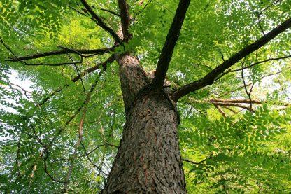 Бундук, мыльное дерево, Gymnocladus