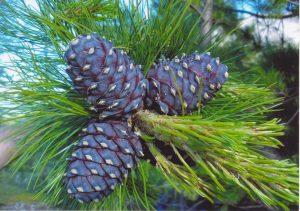 Pinus_sibirica