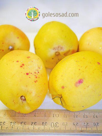 Айва КРУПНАЯ, chaenomeles japonica seeds, купить семена