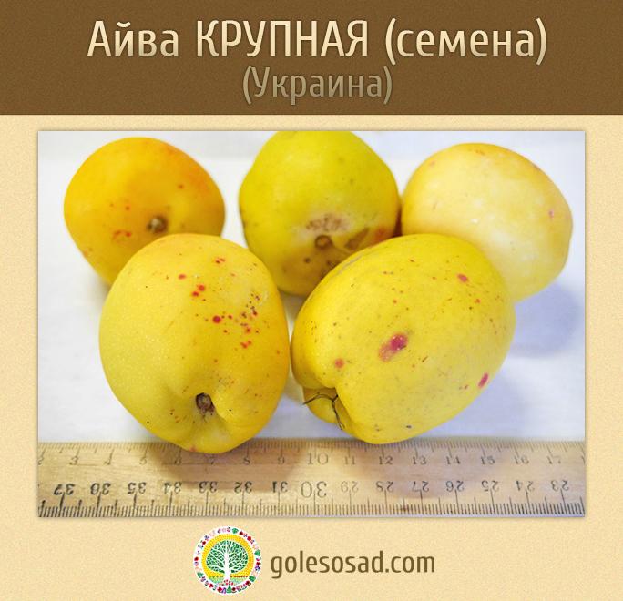 Айва КРУПНАЯ, chaenomeles japonica seeds