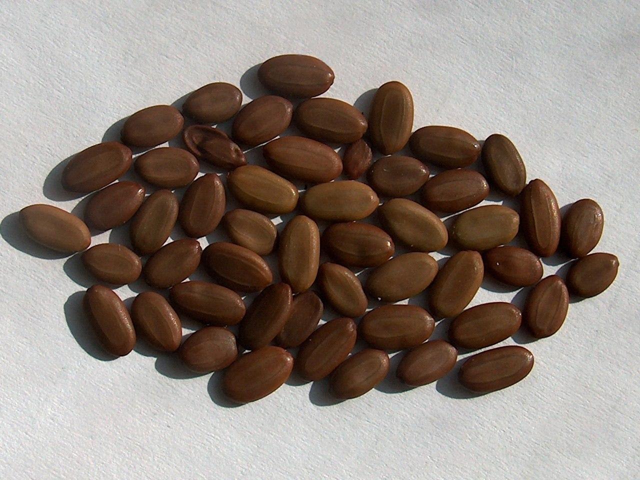 Семена акации картинки семян