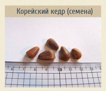 Корейский кедр, семена