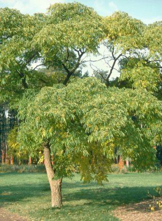 Phellodendron sachalinense