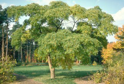 Бархат сахалинский, Phellodendron amurense sachalinense