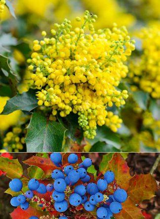 Магония падуболистная, Mahonia aquifolium
