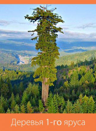 Деревья 1-го яруса: от 15-20 м
