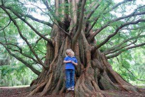 Metasequoia glyptostroboides, метасеквоя