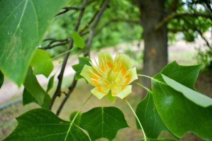 Тюльпановое дерево, Лириодендрон, Liriodendron tulipifera