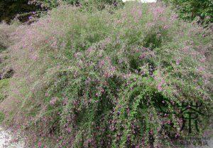 Леспедеца двуцветная, Lespedeza bicolor