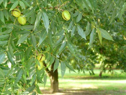 Орех Пекан, Pecan, Carya illinoinensis