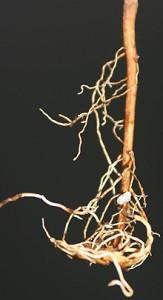 Так формируется корень в обчном пластиковом контейнере