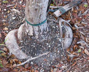 Закрученный корень