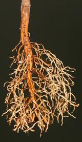 Так формируется корень в пакете из агроволокна