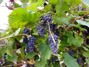 Синий дальневосточный виноград, Vitis amurensis