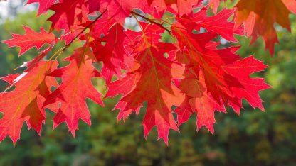 Дуб красный, Quercus rubra