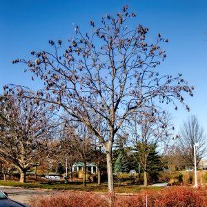 Бундук двудомный, мыльное дерево, Gymnocladus dioicus