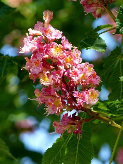 Конский каштан павия, Aesculus pavia