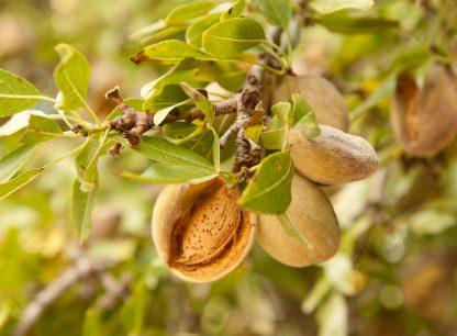 Миндаль сладкий, морозостойкий, almond