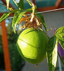 Пассифлора инкарната, Passiflora incarnata,