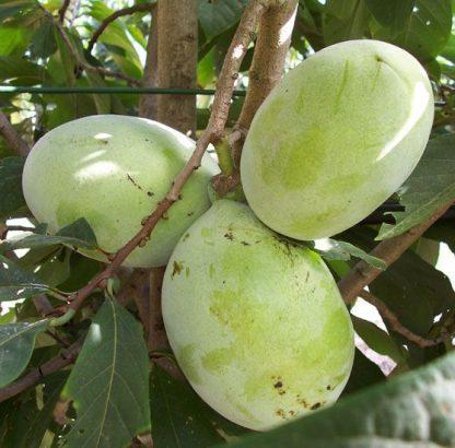 Азимина, или банановое дерево