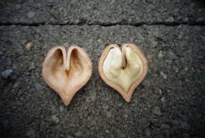 Орех сердцевидный, Juglans cordiformis Maxim