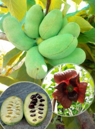 Азимина, Банановое дерево, Asimina triloba