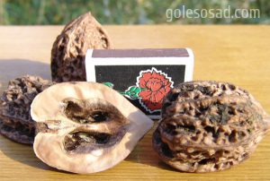 Маньчжурский орех, Juglans mandshurica