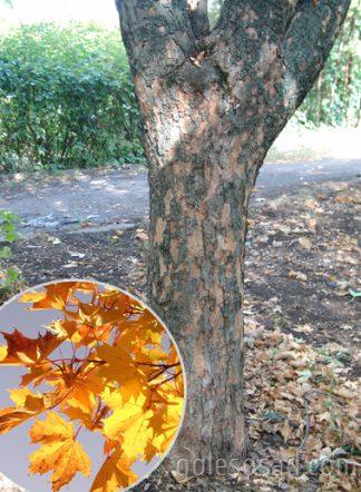 Клен платановидный, Acer platanoides