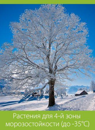 Растения для 4-й зоны морозостойкости (до -35°C)