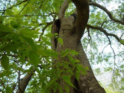 Каркас южный, Celtis australis