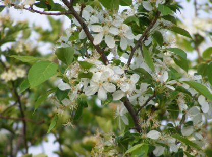 Яблоня ягодная, Сибирка, Malus baccata