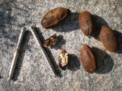 Серый орех, Juglans cinerea