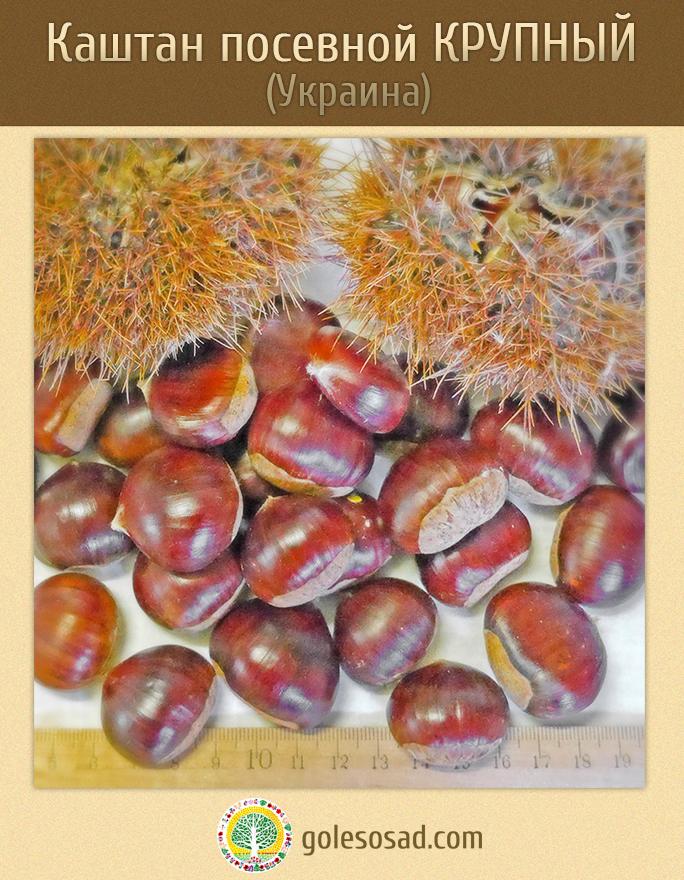 Каштан посевной, крупный, castanea-sativa-seeds