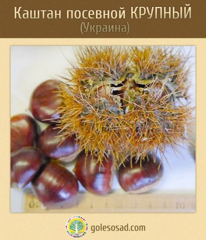Каштан посевной, крупный, castanea-sativa-seeds, купить семена