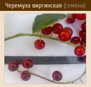 Черемуха виргинская, Prunus virginiana