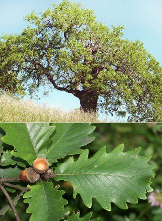 Дуб крупнопыльниковый, Quercus macranthera