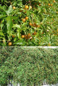 Виноградовник аконитолистный, Ampelópsis aconitifolia