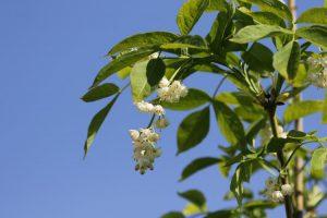 Клекачка перистая, Staphylea pinnata