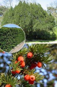 Тис ягодный, Taxus baccata