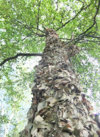 Береза даурская, betula dahurica