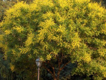 Кёльрейтерия метельчатая, Koelreuteria paniculata