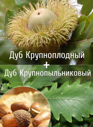Дуб Тимирязева, Q. macranthera x Q. macrocarpa