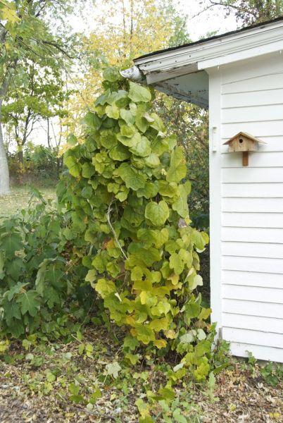 Луносемянник даурский, Menispermum dahuricum