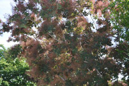 Скумпия кожевенная, Cotinus coggygria