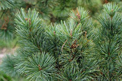 Кедровый стланик, Сосна стланиковая, Pinus pumila