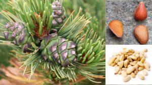 Кедровы стланик, Сосна стланиковая, Pinus pumila