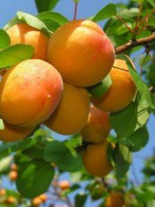 Абрикос, apricot