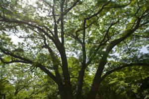 Бархат Лаваля, Пробковое дерево, Phellodendron lavallei