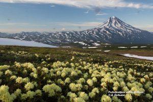 Рододендрон золотистый, Rhododendron aureum